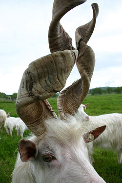 File:Goat with spiral horns.jpg